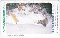 この野生動物たちは、テンとタヌキで合っていますか? タヌキではなくアライグマ?
