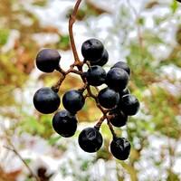 黒い実は、なんの実だろう?  ヤマブドウ? エビズル?  葉は落ちて蔓だけの状態でした。