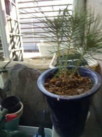 アカマツの苗木についての質問です。 10月下旬に園芸店でアカマツの苗木を購入しました。最近になって下葉から枯れ始め上の葉も緑から濃い紫色へと変化しています。やはり寒さが原因でしょうか。 光不足となりま...