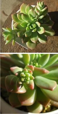 写真の多肉植物の属名を教えてください。  写真の多肉植物は「多肉植物」という表示のみで入手しました。 なので名前は無いと思うのですが、属名はわかるでしょうか? それとも、もう少し大きくなって花が咲か...