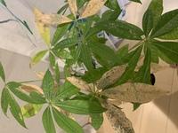 観葉植物のパキラが画像の様になってしまいました。 原因、対処方が分かる方は教えて頂けると助かります。 よろしくお願いします。