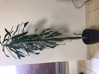 写真の観葉植物を譲り受けたのですが、 名前がわからず、育て方もわかりません。 名前がわかる方教えてください。 全長60cmぐらいです。