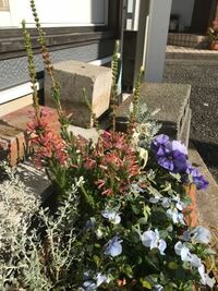 白い花だったから買ったエリカが、写真の色に。どうすれば白に戻りますか? 秋に白花のエリカを買いました。買ってしばらくしてから寄せ植えにしました。でも寄せ植えにする以前に花の色がピンクっぽくなってたと...