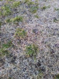 芝生の雑草が根が強く抜けません。 冬で高麗芝も茶色になり、普通の除草剤をかけたら芝も枯れますか? ちなみにこんな雑草です。 何か良い方法はございますでしょうか?