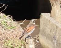 雀に似ているこの鳥は何ですか。