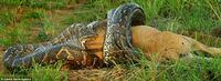 ライオンが(アナコンダかも?)ニシキヘビに捕食されてる様子らしいのですが、このニシキヘビ太すぎます…ニシキヘビは大きいものでも胴回りは90cmほどと聞きますがこの画像の固体はそれ以上だと 思います…どのくらいの太さがあると思いますか?
