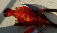 この魚をどなたか特定していただけないでしょうか?  ベラかとは思うのですが、見たことなかったので識者にご教授頂ければ幸いです。