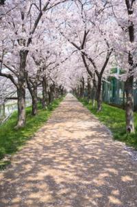 色鉛筆でこの桜の感じを再現したいです。 描き方を調べてみると、クレパスとか絵の具が多くて、全て色鉛筆で書いている動画は見当たりませんでした。  実はこの桜ではなく他にメインがあって、その絵が色鉛筆画の予定なんです。 なので桜も色鉛筆で描きたいのですが…。  友人に聞いたら「モコモコ書いてピンクでぬれば桜っぽくなるよ。」と言われたのですが、細部まで書き込みたいので、桜も丁寧に描きたいです。  ...