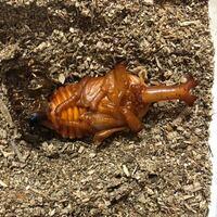カブトムシが土の上で蛹になってしまいました。 人工蛹室に移そうと思い調べたところ1週間〜10日経ってからが良いとありましたが、いつ蛹になったのかわかりません(TT) 初心者なので色を見てもよくわからないので...
