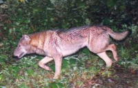 もし、ニホンオオカミが現在も十分な個体数が生存しているとします。そうなると、現在のクマ問題のように、歩いていただけで通報されたり、人を襲った殺した食った等、現代日本人との軋轢はあったでしょうか? オオカミは、人をむやみに襲わないというのが定説ですが、日本のように山と人里が近いと、その限りではないでしょうか? 皆さんのご回答を期待してます。