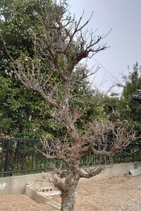 の 梅 の 剪定 木