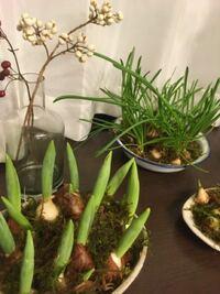 ムスカリの水耕栽培をしています。 葉っぱばかりがヒョロヒョロ伸び続け つぼみができる気配が全くありません…  かれこれ1ヶ月ほど経ちます。  自分で思い当たる悪い事は、リビングで育てているため、朝夕は暖房をかけ 日中は家をあけているので かなりの寒暖差が1日のうちであります。  日当たりはいいです。  ちなみにチューリップも水耕栽培をしていますが、こちらはのんびり 目が伸びてます。  今から...