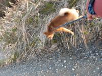 半年の柴犬の引っ張り癖が直りません。リードが張ったときに立ち止まって、リードをクイクイっと引いてみても、再度歩くとまたリードが張ります。そのことの繰り返しで二日間散歩しています。ほんとのバカ犬なん...