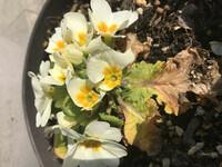 鉢植えの花が虫に食べられて困っています。鉢植えをくまなく見渡しても該当するような虫の姿はなくて、どのように対処していいかわからず困っています。 こんな薬を撒いたらいいよとか、これってこの虫の仕業です...