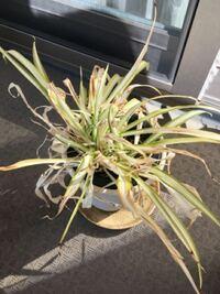 日当たりの良いベランダで、水も与えているのですが、なぜこんなに枯れ枯れに? 天気の良い日に、慌てて出てしまい、水やりを忘れてしまった日もありますが…。それは年末以降のこと。それまでは普通に緑色でした。 皿に水が溜まっているのが良くない? 鉢の底から根が出てるのでそれが良くない? 周りに、土をシーズン毎に新しくしたりしないから?とも聞きますが、そんなことをしなくても、普通に生きてるよ。と言われ...