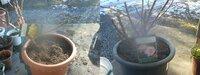 鉢入りのバラの大苗を届いてすぐ植えつけたのですが、そのとき苗の底を少しほぐしてしまいました。鉢苗は崩さずに植えなきゃいけないそうですが、大丈夫でしょうか?