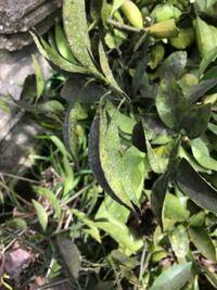 みかんの木なのですが、葉っぱの表面が黒く、裏は白い点々があり、白い虫が飛んでいます。 何の病気ですか?
