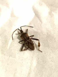 カミキリムシ?! 部屋で昆虫の死骸がありました  この虫の正体を教えてください  よろしくお願いします