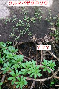 この葉が輪生する雑草の名前を教えてください。 クルマバザクロソウと思っていたのですがどうやら違うようです。