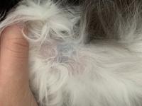 猫の胸のあたりに黒いシミ?のようなものがあります。触るとブヨブヨしてます。 これは何かの病気でしょうか?