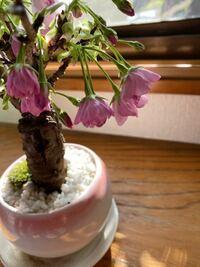 桜の盆栽が元気が、無い感じがするんですが、なんででしょうか?
