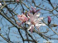 シデコブシですか?それともコブシですか? 大木です。 岐阜県可児市 植樹 撮影20200319