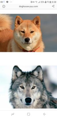 オオカミの風貌、体格をそのまま受け継いだイヌがいないのはなぜでしょうか? 古代人にはオオカミの容姿、体躯は需要がなかったから人為淘汰されてしまったからでしょうか? 言うなればハスキーですか? 柴犬等日本犬は結構似てますが。