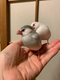 前々回にご質問した ライトシルバー文鳥は、だんだんた 色がついてシルバー文鳥(親オパール、アゲイト)のようになりました。  そしてオス鳴きしています。   メスをペアリングするさい、  子どもにライトシルバー文鳥、シナモン文鳥が欲しい時、 どんなメスをお迎えしたらよいでしょうか?    また、文鳥の遺伝の勉強になるサイトがあればお教え頂きたいです! 探してはいますがなかなか見あたらず、すみません。