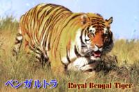 ベンガルトラに勝てる動物は何がいますか?