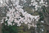 今日はエイプリルフールです。 あなたは嘘を付きますか? 付く方はどんなのですか? 軽い嘘でお願いします。  桜☔で散らないように。