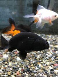 黒らんちゅうについての質問です。 1年ほど飼育している金魚に身体に白い物が付いているのですが、何かわかりますか?白点病ではないみたいです。他の金魚には付いてないんです。