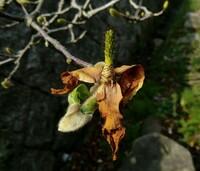 この花の咲終わりの様子で コブシかモクレンかわかる方おられたら教えて下さい。