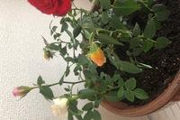 ミニバラを株分けして大きい鉢に植え替えたのですが写真のように黄色いバラだけなんだか下を向いてしまって元気がないです。  ミニバラ用の土、肥料を表記通りに与え日中は外に出し日に当てて いました。 部屋の日当たりが悪くベランダに出しても12時くらいを過ぎると日陰になってしまうので部屋に取り込んでいます。  ほかの鉢のミニバラは元気そうです。  この鉢の黄色いバラだけが元気ないです。...