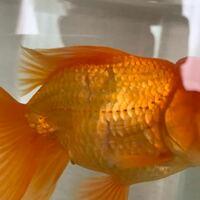 金魚のオランダ獅子頭の鱗が剥がれている箇所があるんですが病気ですか?今単独飼育してますがなんででしょうか?ウロコが数カ所剥がれてる( ; ; )
