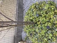 ハナミズキの木の幹が根本から大きく二手に分かれています。その片方は、幹も枝も枯れてしまっているのですが、もう半分は元気です。 こう言った場合、枯れてしまっている方は選定してしまって も大丈夫なのでしょうか? かなり片寄ってしまうかんじになります。