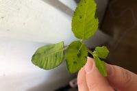 鉢植えのミニバラです。 この症状は黒カビによるものでしょうか? 慌てて切り取ってしまったのですが対処法があれば教えてください。
