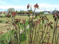 この植物の名前を教えてください。 高さ1メートル程度で潅木(かんぼく)の様ですが、茎か幹かの途中には全く枝が無く、幹の上部に緑と赤茶色の葉(花とは思えません)を茂らせております。 畑の脇に植えられておりました。