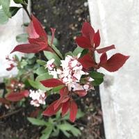 この新芽が赤い花の名前を教えてください