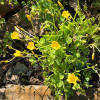 黄色い小さめの花です。なんという名前でしょうか?  葉が三つ葉のような感じなのでカタバミでしょうか、花が開ききってないのでよくわかりません。 どうぞよろしくお願いいたします。
