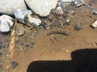 川辺の石をひっくり返したらこんな幼虫がいました、成長したら何になるか分かりますか?