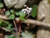 この植物の名前はなんですか? 撮影日は4月中旬,撮影地は岐阜県の山中です。