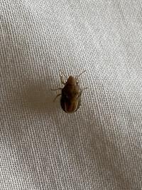 同僚のフィリピン人女性が、火曜日にクライエントのベットでベットバグ(トコジラ...  同僚のフィリピン人女性が、火曜日にクライエントのベットでベットバグ(トコジラミ)を発見したとのことでした。 そして、私が同じ週の土曜日に同じクライエントさんのベットでこの虫を見つけました。  この虫はベットバグでしょうか?  私がみつけたこの虫は体長5-6mm位です。同僚のフィリピン人女性はフィ...