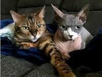 動物でコロナウィルス感染はネコ科? ニューヨークの動物園はトラとライオン、ニューヨークの飼い猫2匹、ベルギーの猫1匹です。日本に住む飼い猫はまだコロナウィルスにかかってません。私の娘も猫かってます。ど...