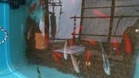 ビオトープの水が白濁しています。 80Lの容器に赤玉土、アナカリスと 錦鯉 20cm程度 4匹 金魚 10cm程度 16匹 を入れています。濾過60cm水槽用フィルターを付けていますが濾過目的ではなく水 の流れを作ってい...