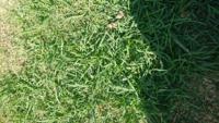 高麗芝にこのような緑が濃くて高麗芝より成長の早い雑草のようなものが生えてきます。 この雑草のようなものは、何て言う雑草なのでしょうか? また、この雑草だけ枯らす除草剤などは、ありますか?
