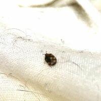 なんて虫ですか? 画質悪くてすみません。1センチもなさそうなすごく小さな虫です。