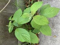 チップ500枚 植物名について質問です。 添付画像の植物が玄関先に生えてきました。 雑草なのでしょうが、植物の名前が分かる方、教えていただけますでしょうか。  よろしくお願いします。