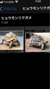 ヒョウモンリクガメについて質問です。 ヒョウモンリクガメをネットで調べてると、甲羅の形が左の写真のように山型になっている個体と、右の写真のように凹んでる型の個体がいます。 これは産地による違いなので...