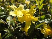 改めて再投稿します宜しくご指導お願いします。  垣根に植えられた低木で5弁の黄色い花を付ける花木です。 花は2~3cmでユリの花を小さくしたような花ですが、花びらの先端に切り込みがあるようで  す。葉っぱは、長い楕円形先ほど尖っています。表面はつるつるしていそうです。  名前えお教えてください。