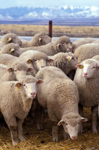 羊の毛って人が刈らなかったら、どうなるんですか? . 仲間同士で手入れするんですか? . それとも伸び放題で顔や足まで覆われ動けなくなるんですか?